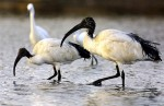 L'ibis sacré.jpg