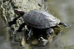 La tortue de Floride.jpg